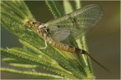 Wrackleford Mayfly