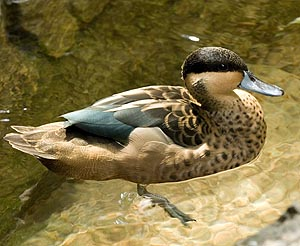 Hottentot Teal from Linzoln Park Zoo