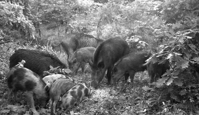 Feral swine sounder in Ohio