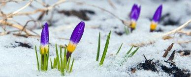 spring_crocuses(F)