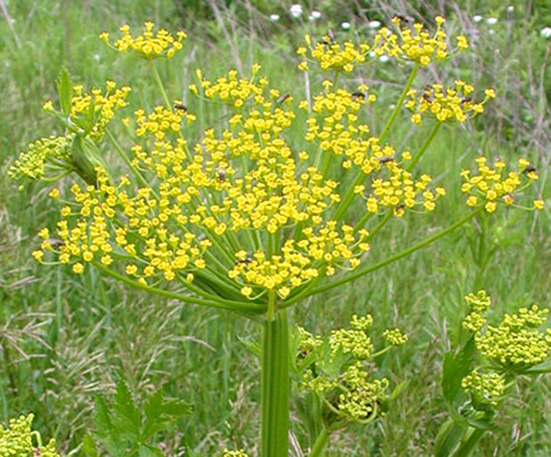 Giant Hogweed - Health Advice