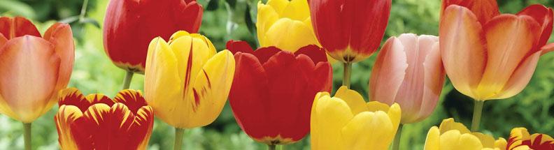 Tulipbanner1