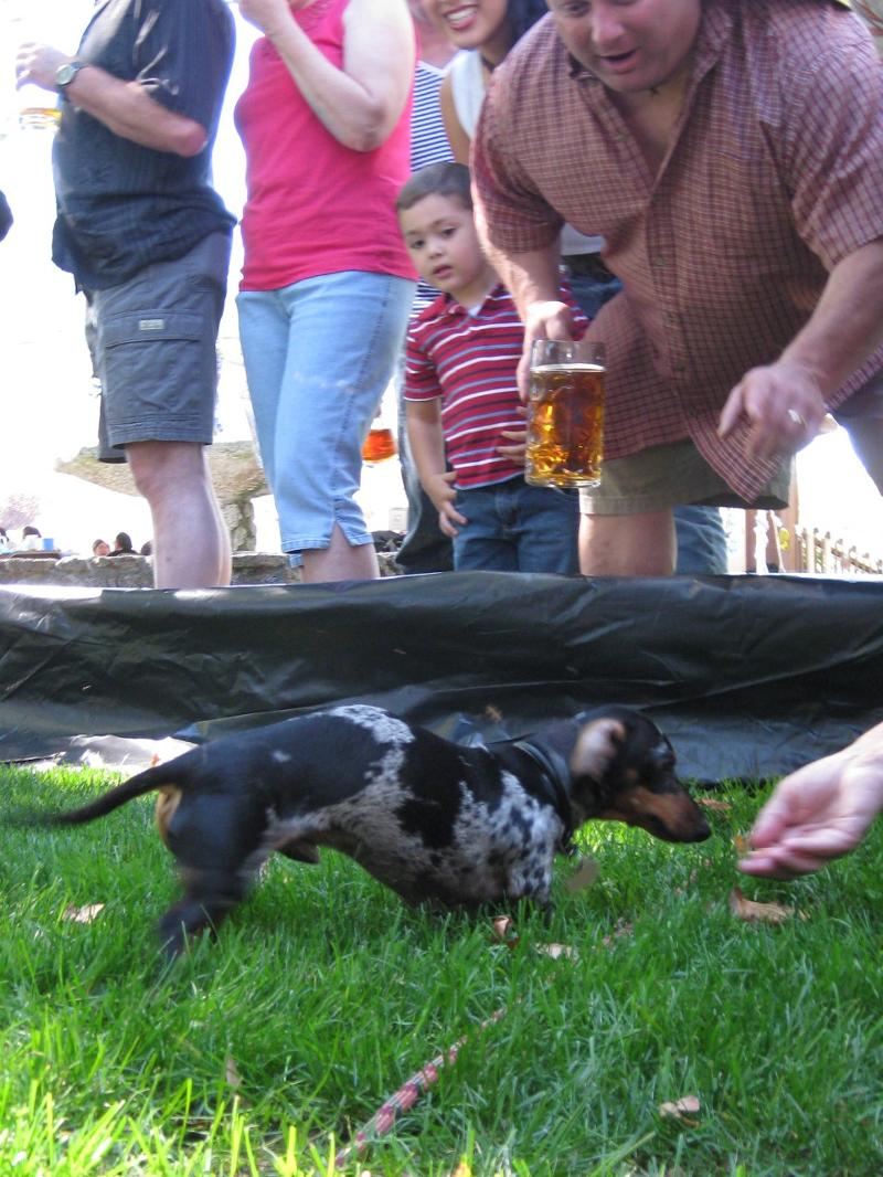 One contestant in the Wiener Dog Race.