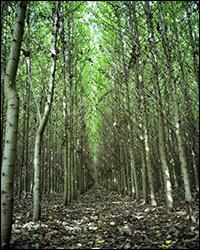 Hybrid poplar trees. Credit: NREL.