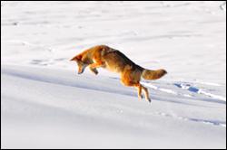 Coyote Pounce. Credit: flickr.com/JustinJensen