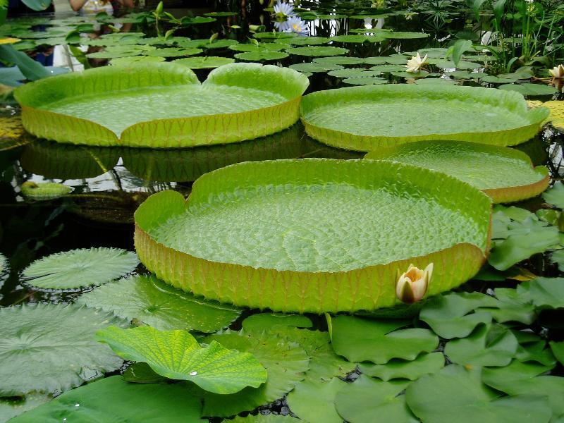 Amazonica lilypads
