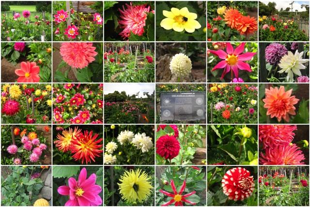 Dahlia Garden Collage