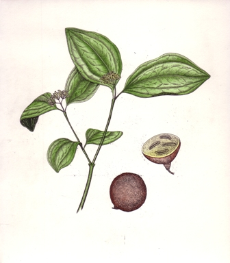 Strychnine Botanical Etching by Briony Morrow-Cribbs