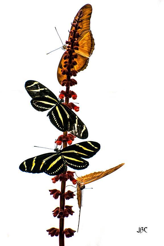 butterflies by John Caddell