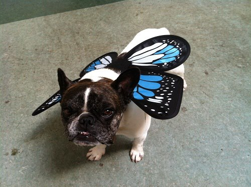 Puccini with wings