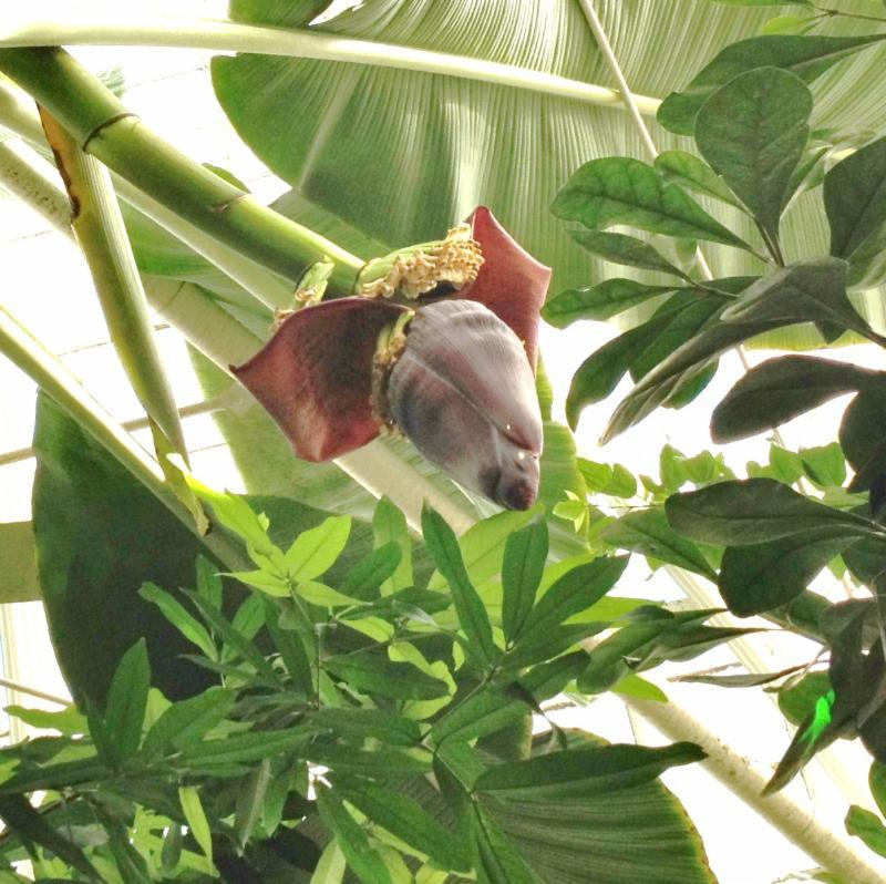 Musa, or banana plant