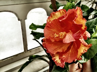 Hibiscus in Aquatics Gallery