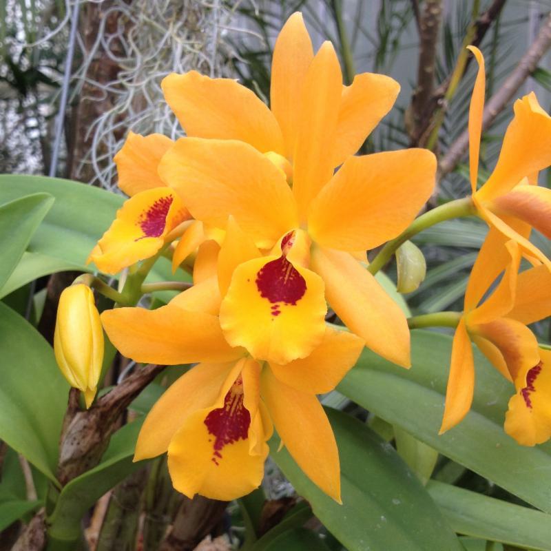 Laelia/Cattleya hybrid orchid