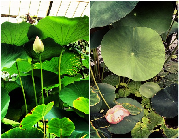 Lotus Bud and Bloom Collage