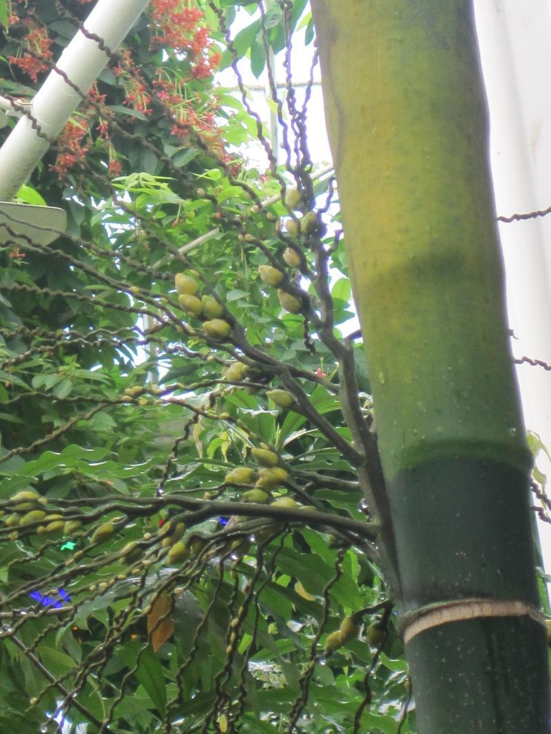 Betel Nut Blooms
