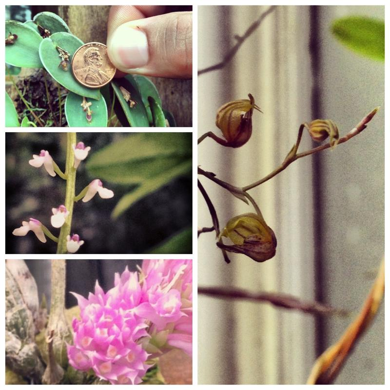Diminutive Orchids Collage