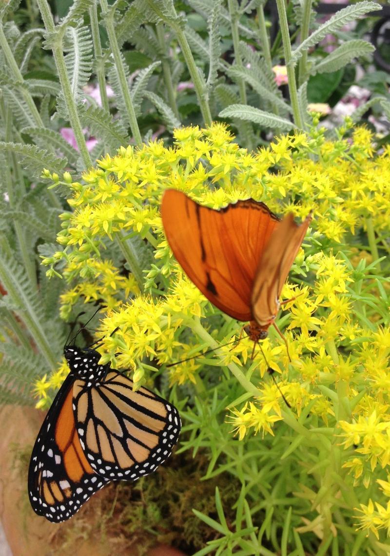 butterflies n blooms monarch