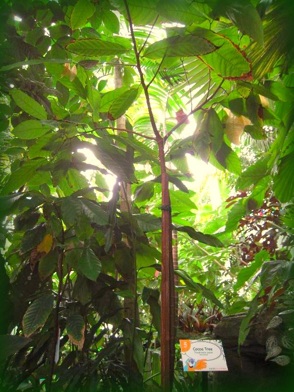 Cacao in Lowland Tropics Gallery