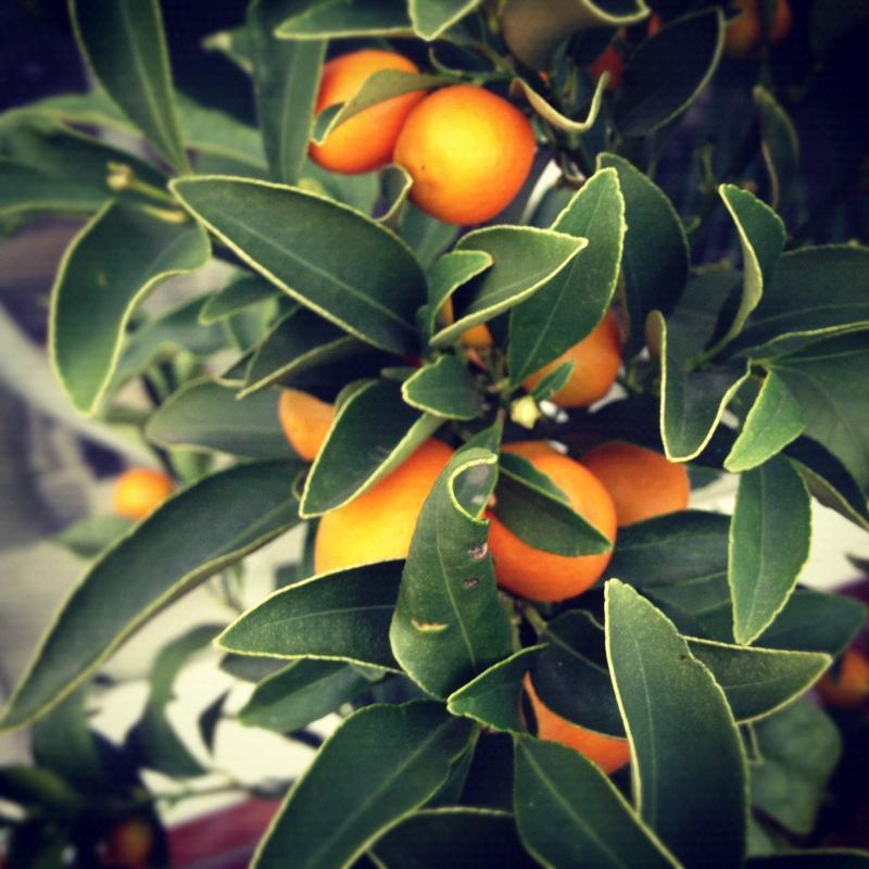Kumquats in Vestibule