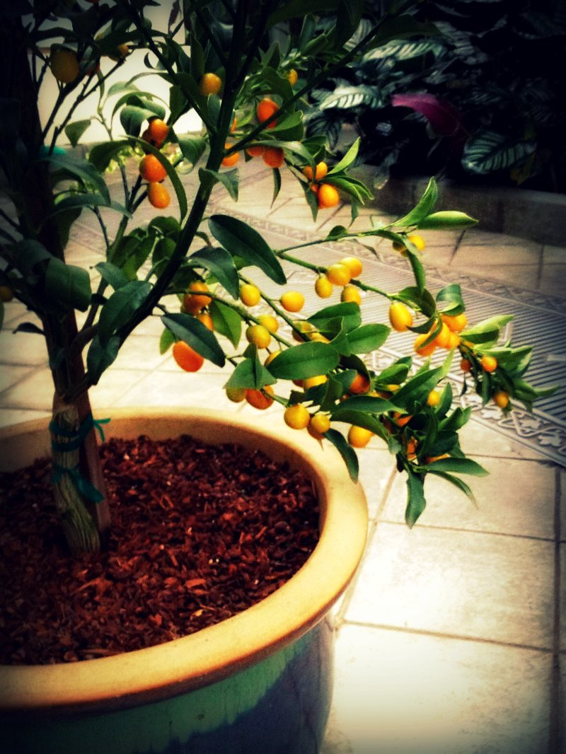 Kumquats in Lowlands