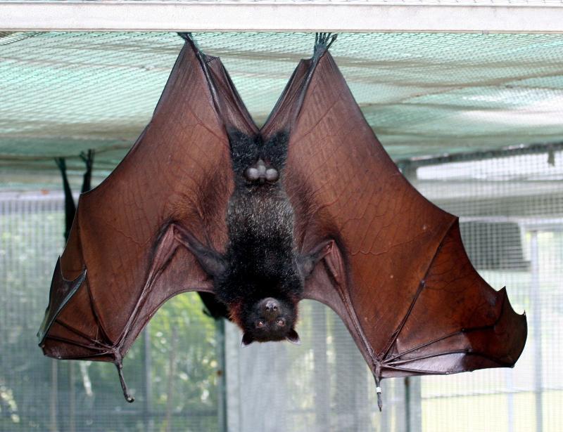 vamp wingspan