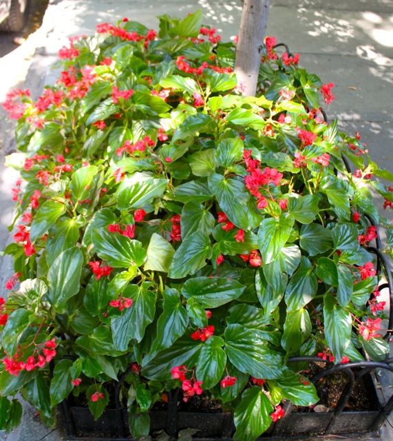 Red Dragon Wing Begonias 1
