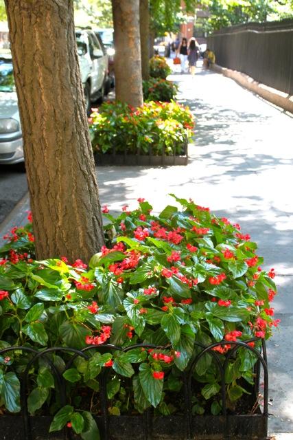 Red Dragon Wing Begonias 2