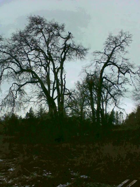 Mature Oak Trees