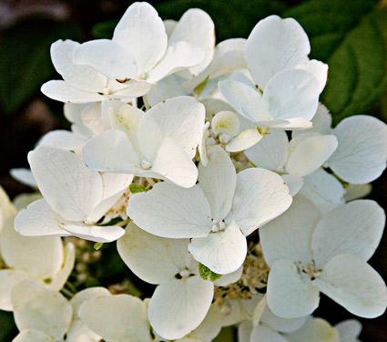 White Diamond Paniculata Hydrangea