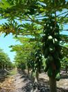 Caribbean Red papaya grove