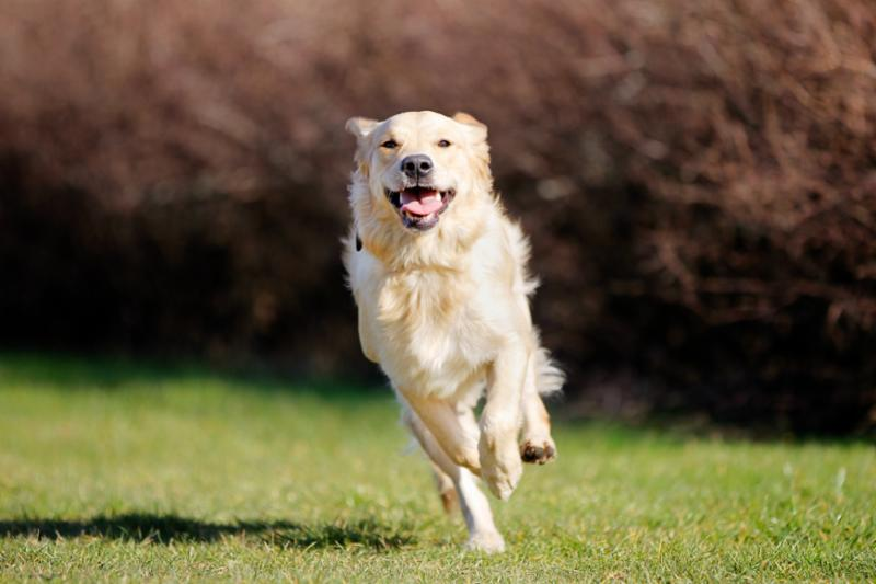 running_golden_retriever.jpg