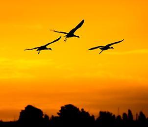 sandhill cranes on Staten Island