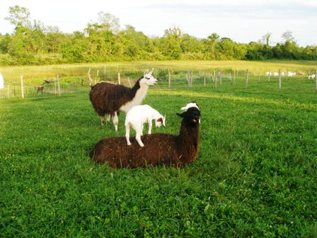 Marsh Meadow - goats