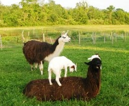 Goats and llamas