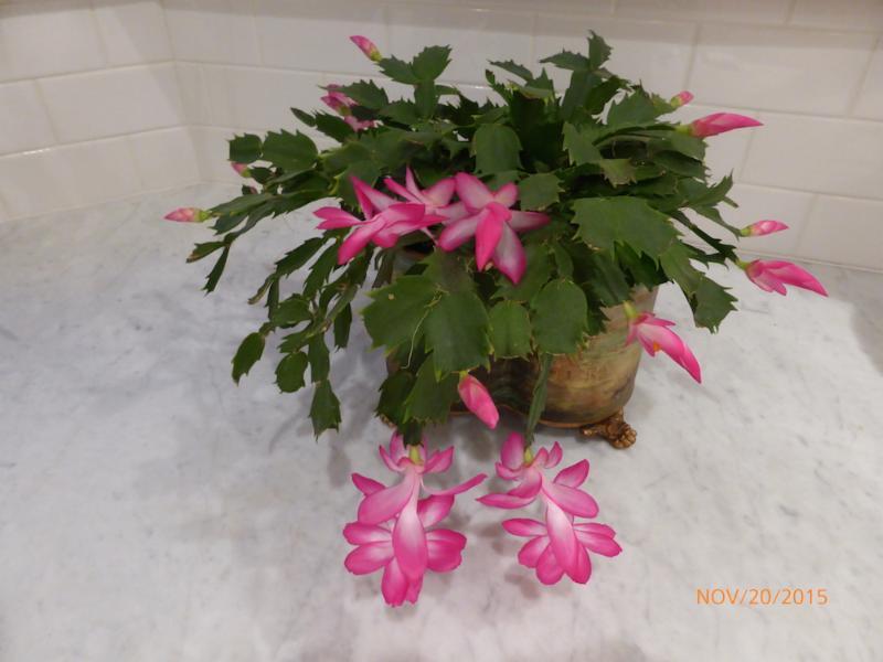 Christmas Cactus Amy