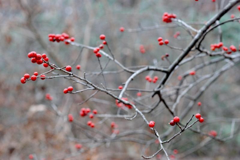 Lee Memorial Garden Winterberry
