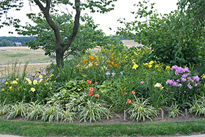 Daylilies blooming in one of the front berm gardens at Viette's.