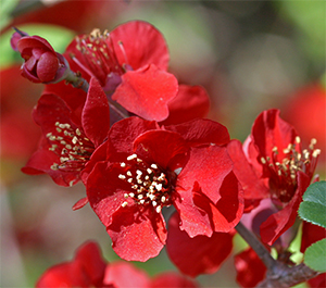 Chinese quince, Cydonia 'Fire Dance'