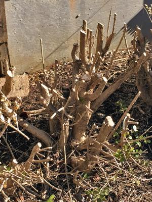 Bixwood pruned hard for rejuvenation