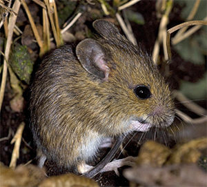Mice can be damaging to overwintering plants.
