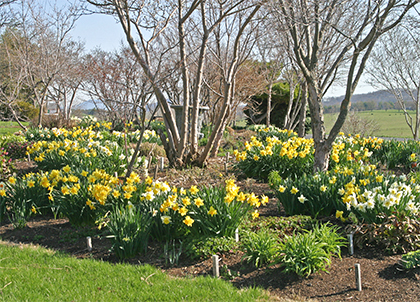 Drifts of naturalized Narcissus provide a stunning show in March and April