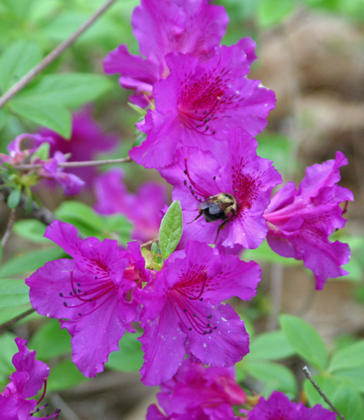 Bumble bee visits a spring azalea flower
