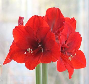 Amaryllis Ferrari has stunning 7_ deep red blooms_