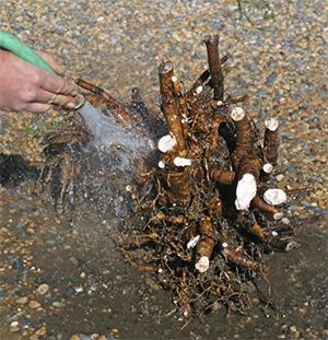 Washing peony clump