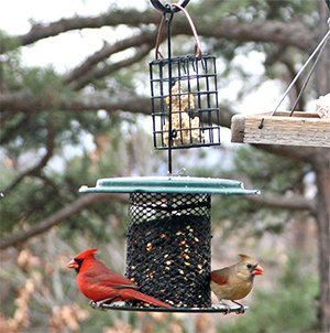 A colorful pair of cardinals feast at the sunflower seed feeder.