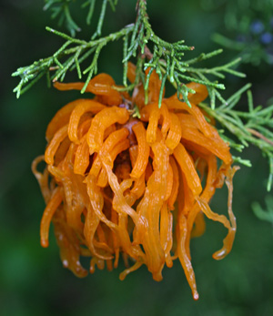 Cedar apple rust gall