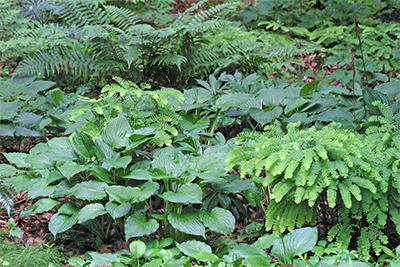 Fern and hosta garden