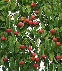 Fruit of Cornus kousa