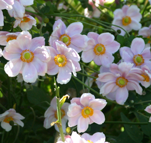 A beautiful single_ light pink anemone