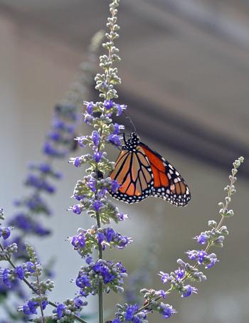 Monarch on Vitex